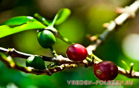 В Россию поставляют кофе преимущественно двух сортов, Арабика и Робуста