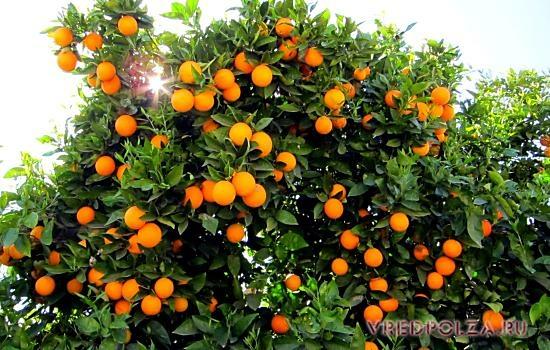 "Результат пошуку зображень за запитом ""фото грейпфрут"""