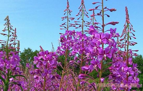 Кипрей остролистный или иван-чай – дикое многолетнее растение, растущее на сухих песчаных почвах