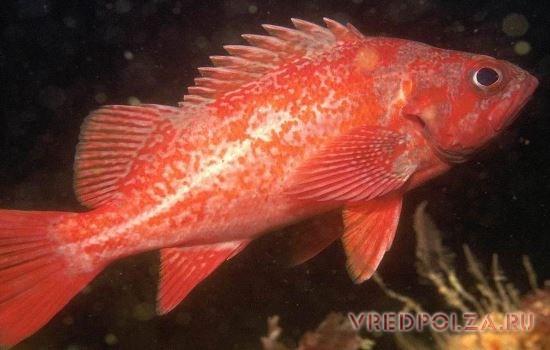 Морской окунь – активный хищник, отличающийся выпученными глазами и яркой алой окраской чешуи