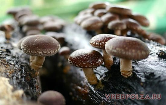 Лечебными свойствами обладают шиитаке, выращенные в естественных условиях симбиоза