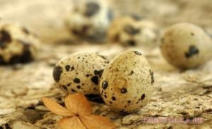 Полезность и вред перепелиных яиц